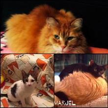 Trois photos de chats : le 1er est très poilu orange et calme ; le 2e est tout petit, jeune, blanc et noir regarde piteusement la caméra ; le 3e est un tout petit aussi et noir avec les yeux grand ouverts: il est couché sur un autre chat adulte.
