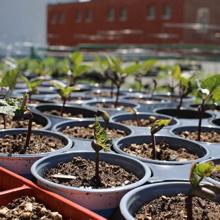 Photo : tout plein de pots avec semis entassés serrés, au soleil, sur le toit de L'Auberivière en 2016.