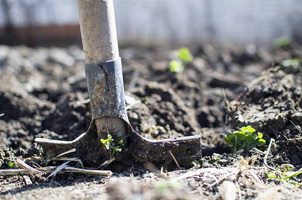 Photo : une pelle en bois qui entre dans un sol un peu mouillé.