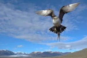 Photo d'un oiseau en vol, vu d'en dessous, donc on voit un grand ciel bleu avec légers nuages, mais aussi un grand horizon d</body></html>
